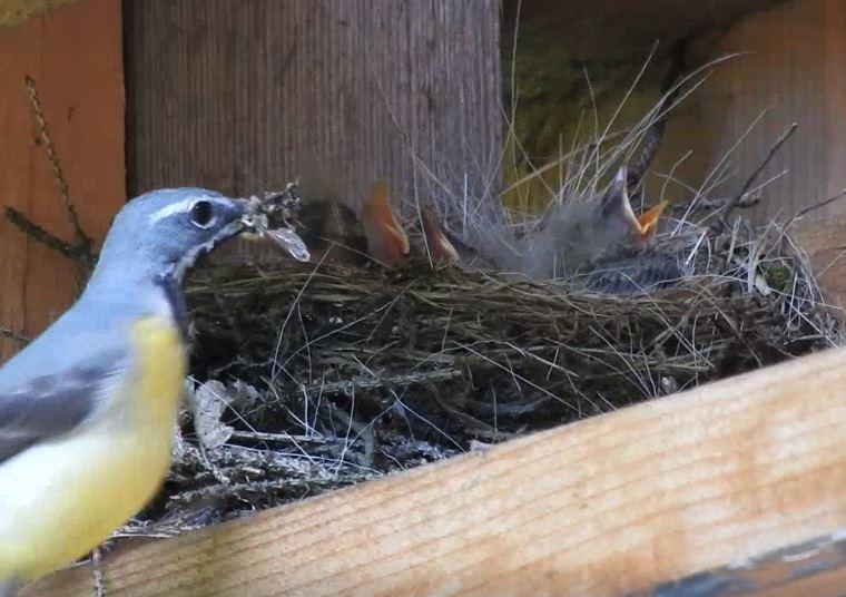 Jungvogel im Nest neu