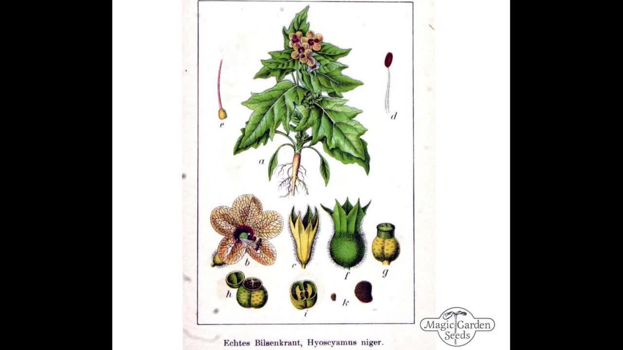 06.5-6-Hexenmedizin - Bilsenkraut, das eigentliche Pharmakon der Hexen - Akonit als Heilmittel